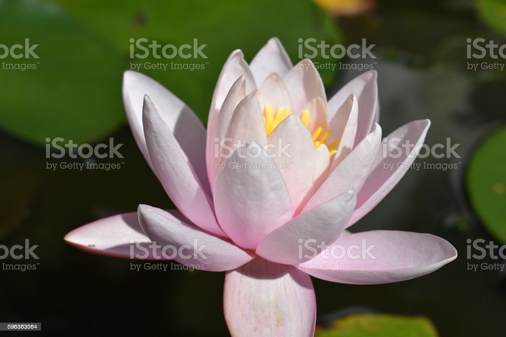 Pink Water lily in pond, sunny stock photo