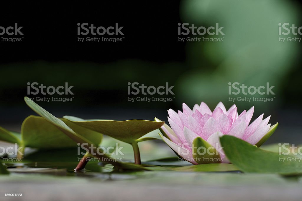 Pink water lily in the earthen jar. stock photo