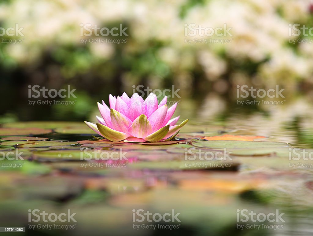 Pink water lily on a pond in Norway stock photo