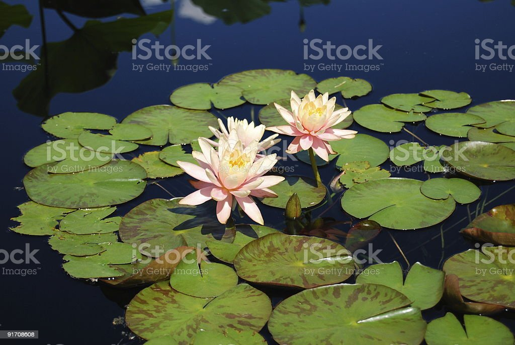 Pink Water Lily on pond royalty-free stock photo