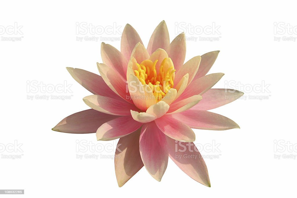 Pink water lily on white background royalty-free stock photo