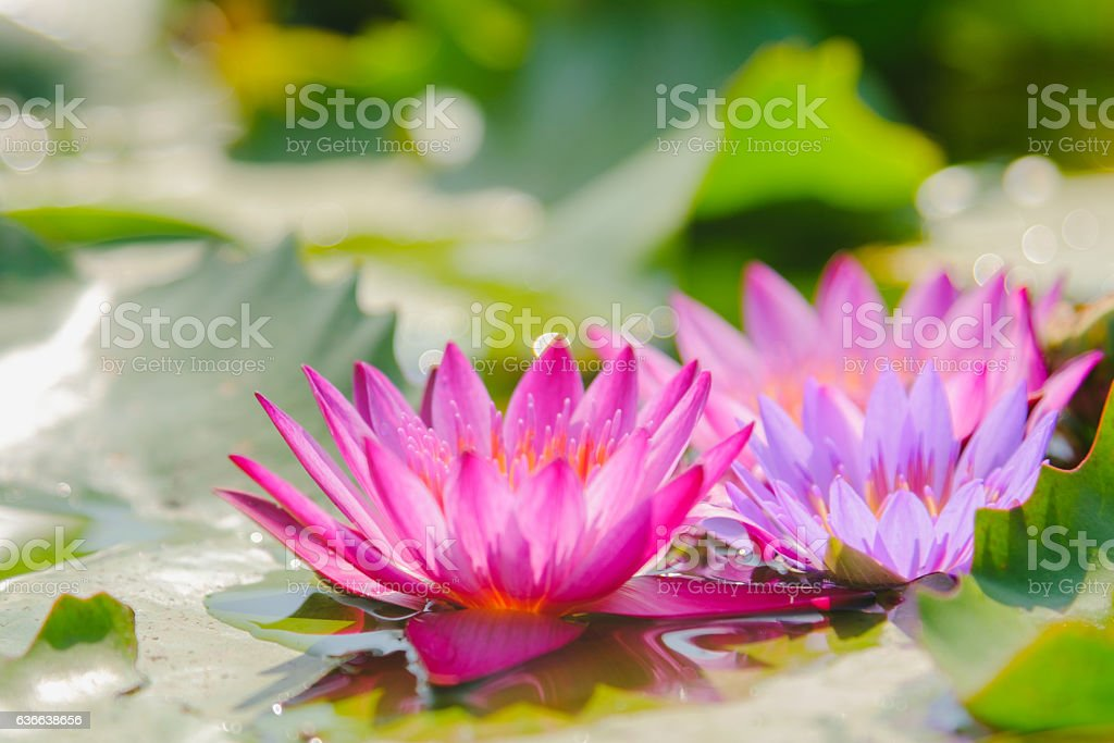 Pink water lily or lotus flower blooming on the water stock photo
