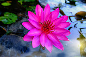 Pink water lily or Pink lotus flower blooming on the