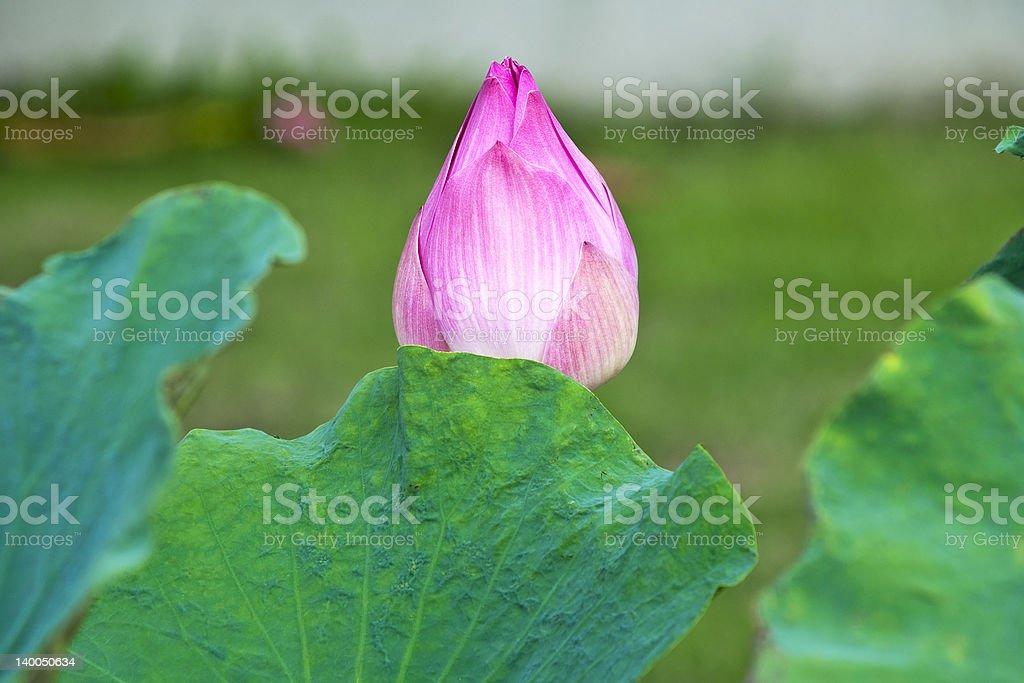 Różowa Lilia wodna zbiór zdjęć royalty-free