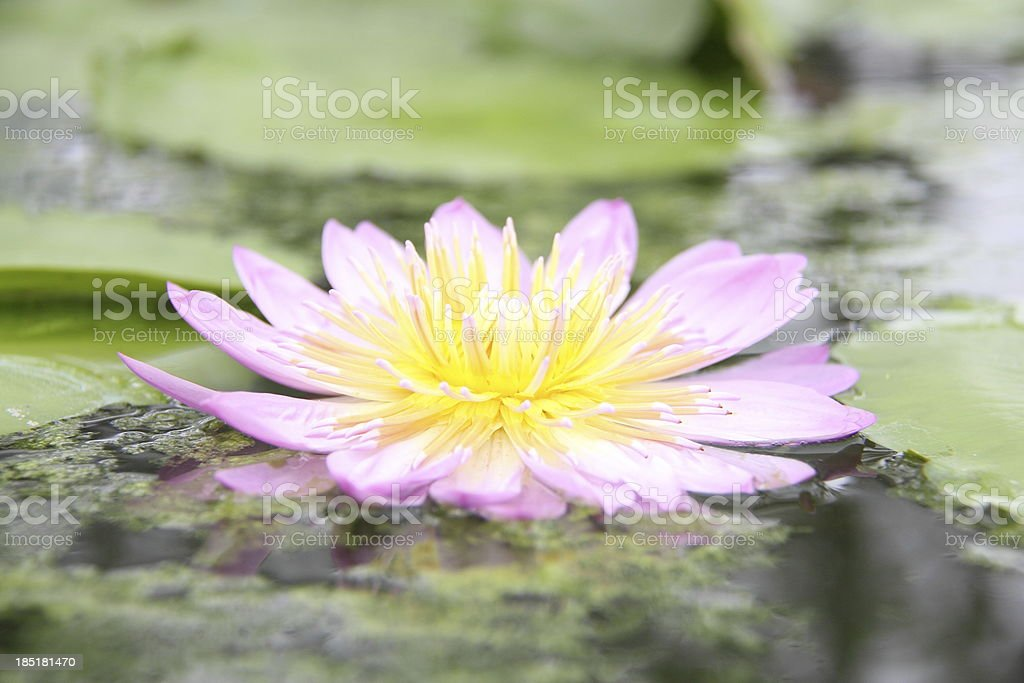 Pink water lily stock photo
