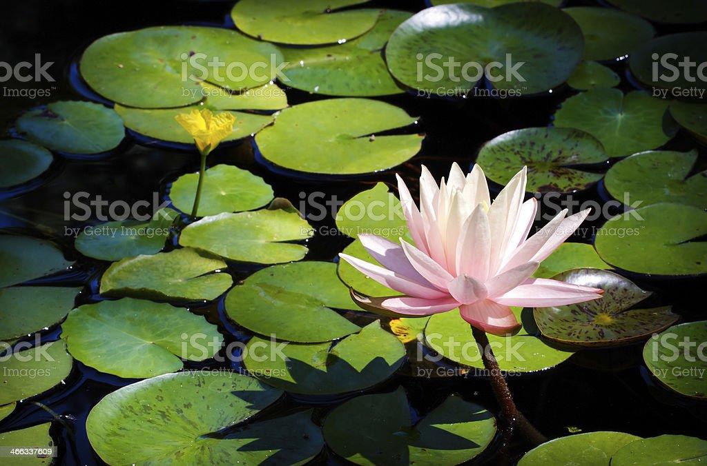 Ninfea rosa foto stock royalty-free