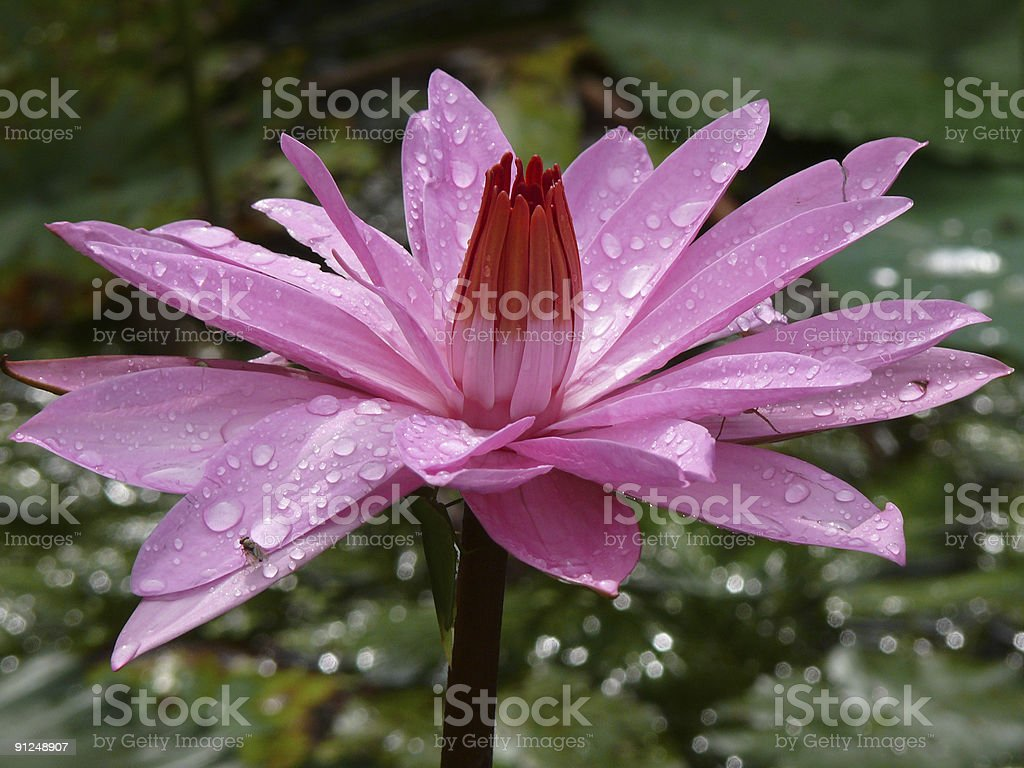 pink water lily royalty-free stock photo