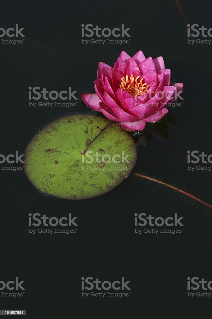Pink Water Lily with copy space royalty-free stock photo