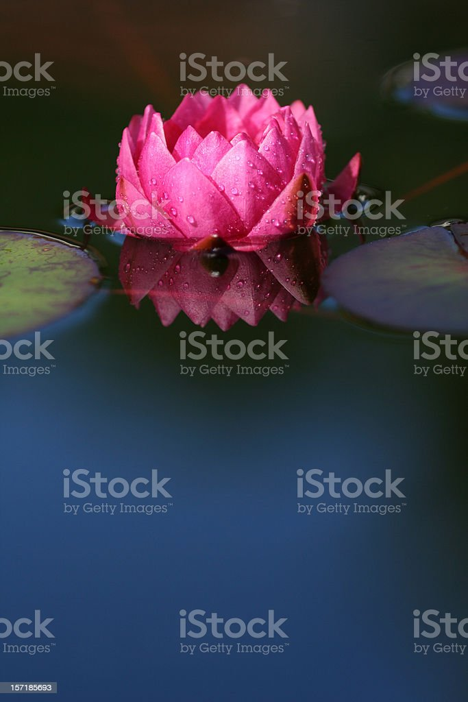 Pink Water Lily With Droplets royalty-free stock photo