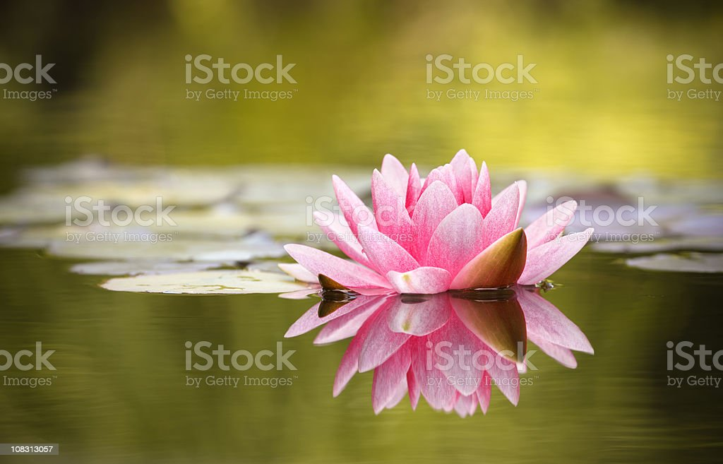 Pink Water Lily with reflection stock photo