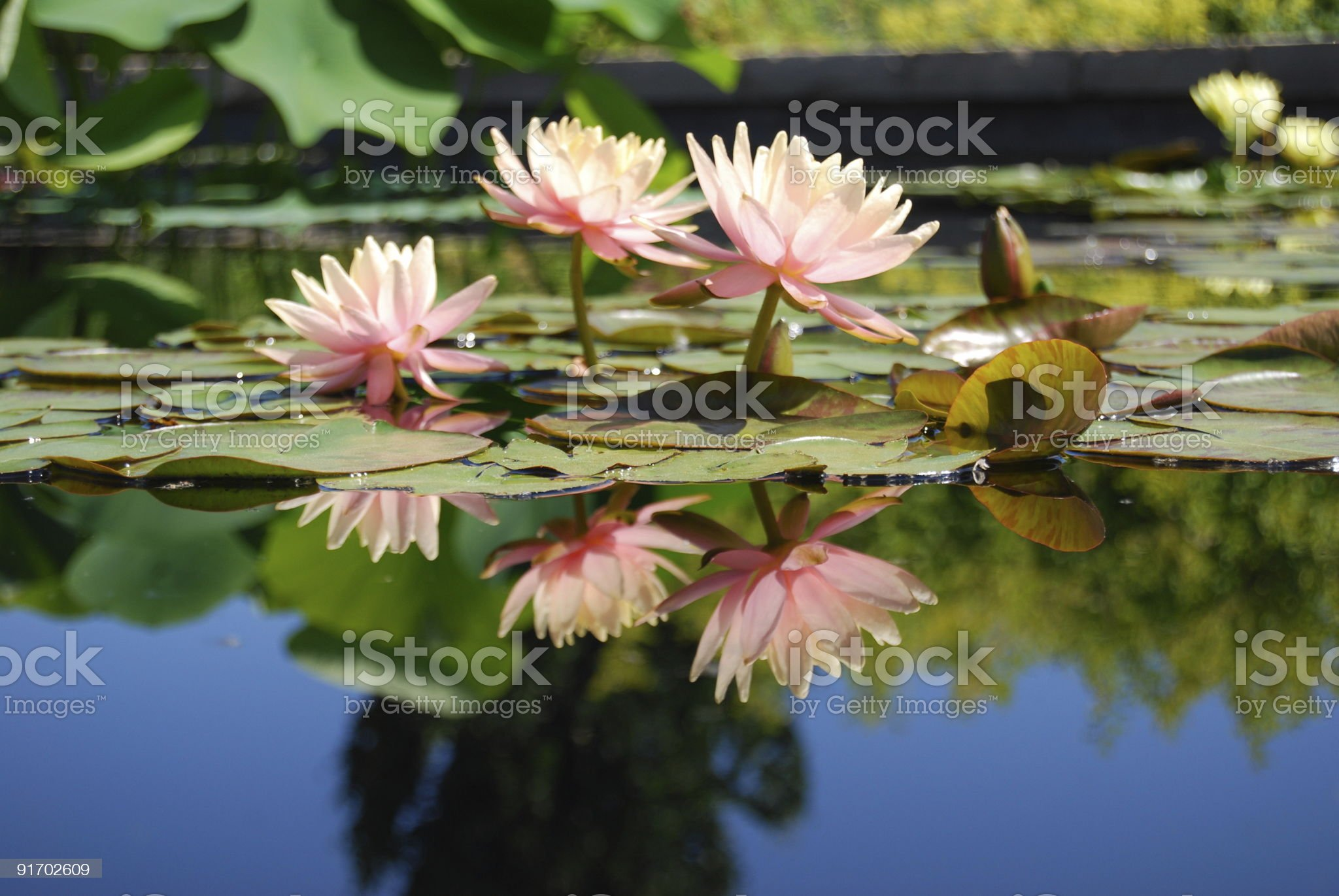 Pink water lily with reflection royalty-free stock photo