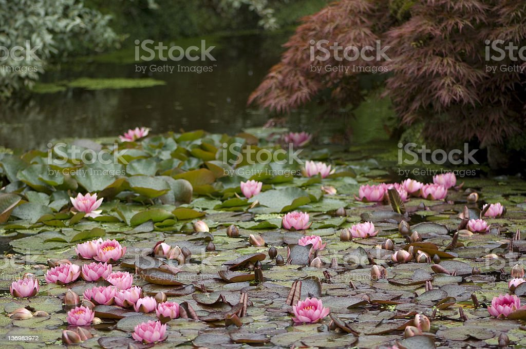 Pink water lily's in a pound royalty-free stock photo