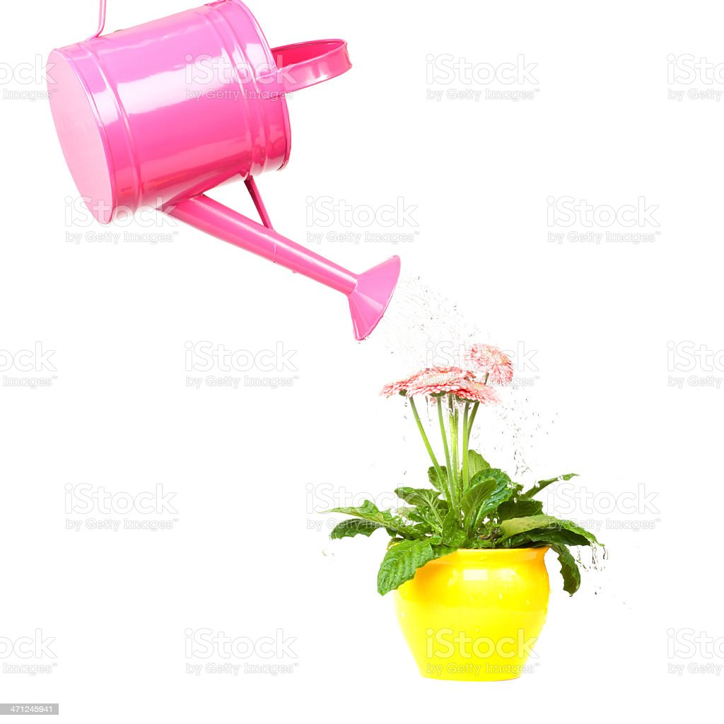 Pink Watering Can a Gerbera pours royalty-free stock photo