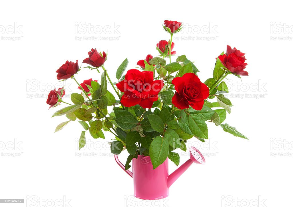 Pink watering can with red roses stock photo