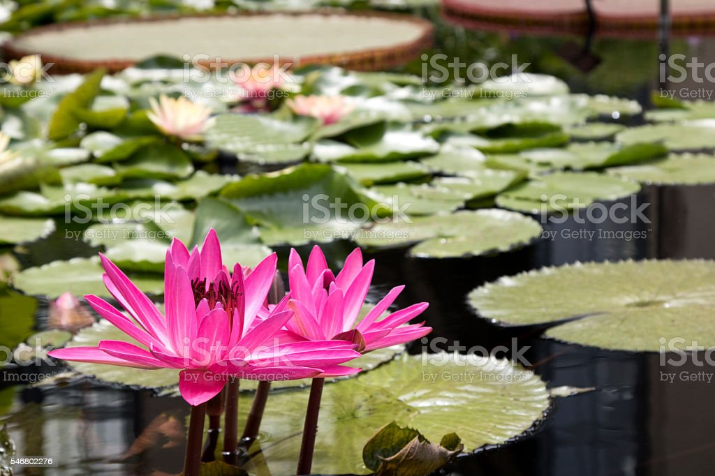 Pink Waterlilly in pond with Lilly pads, saturated color stock photo