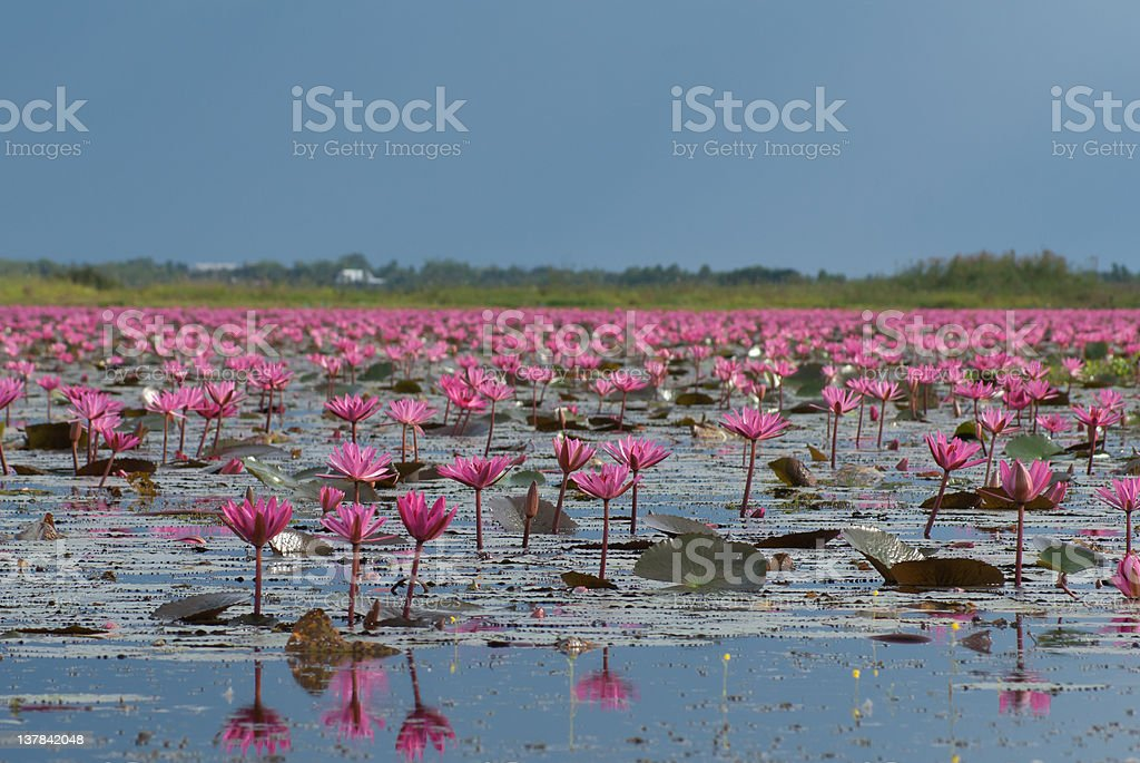 Pink waterlily field royalty-free stock photo