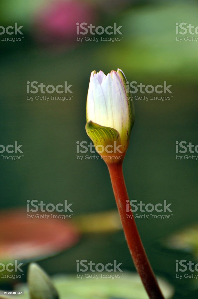 Pink waterlily flower stock photo