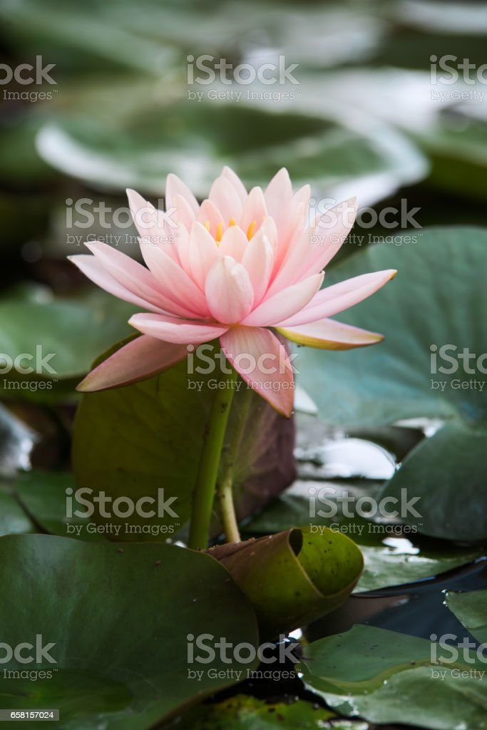 pink waterlily or lotus flower in pond stock photo