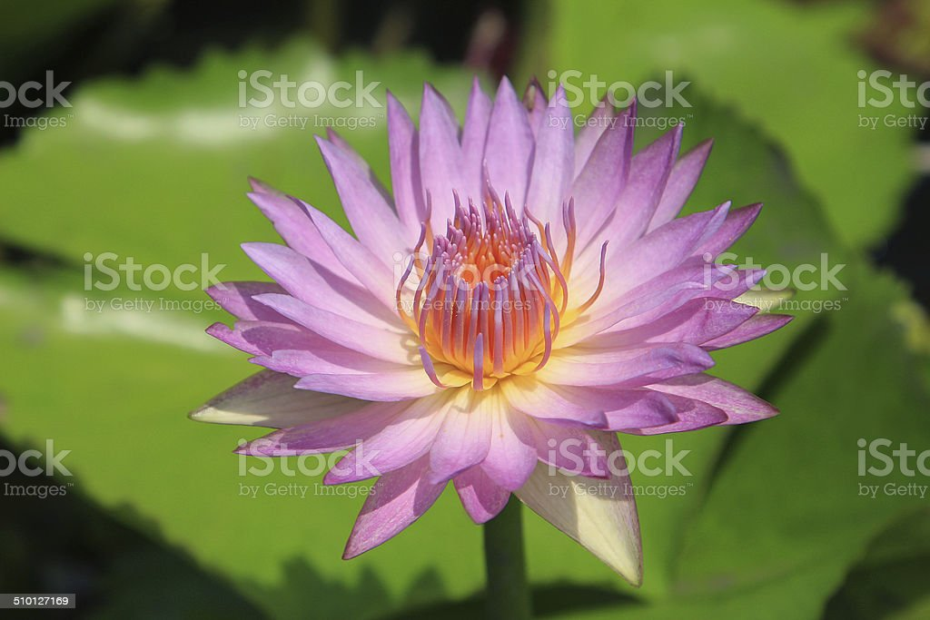 Pink water-lily stock photo