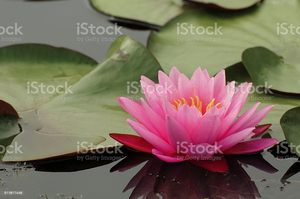 Pink Waterlily stock photo