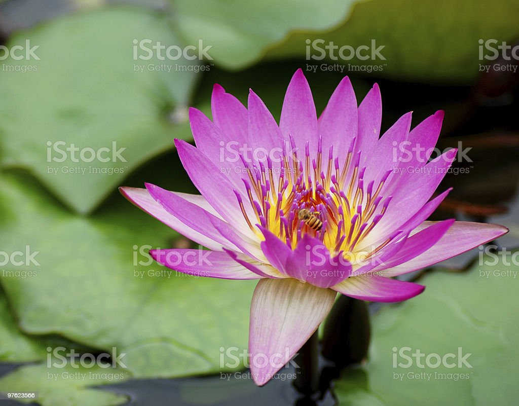 Pink waterlily royalty-free stock photo