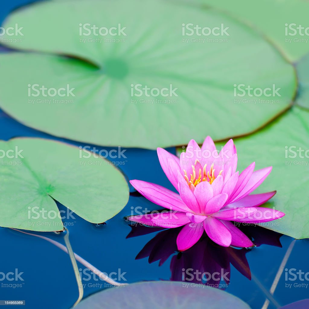 Pink waterlily with large green water leaves - V royalty-free stock photo