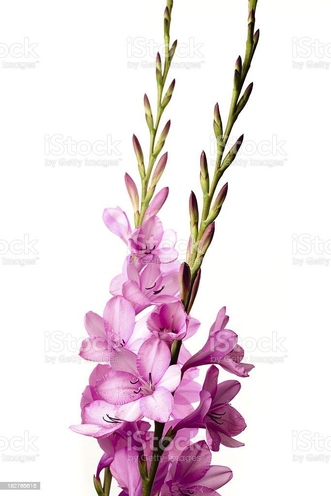 Pink Watsonia flowers stock photo