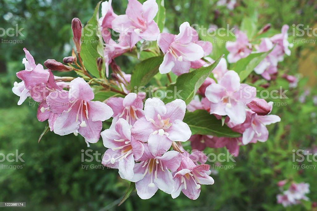 Pink Weigela background stock photo