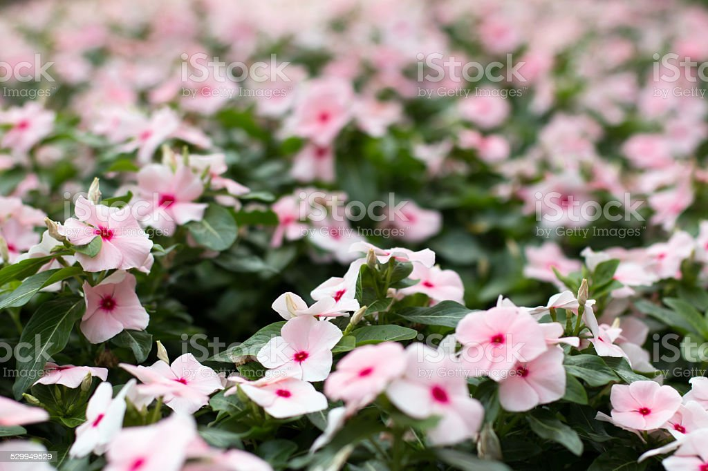 Pink West Indian Periwinkle in vintage tone stock photo