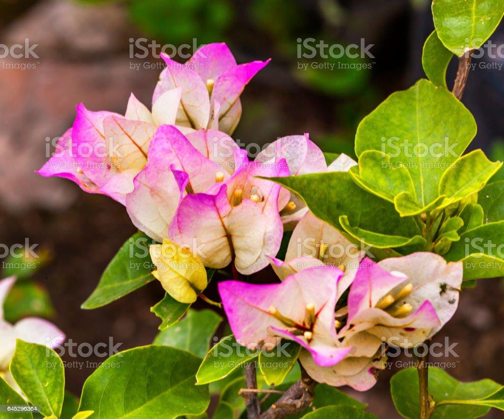 Pink White Bougainvillea Green Leaves San Miguel de Allende Mexico stock photo