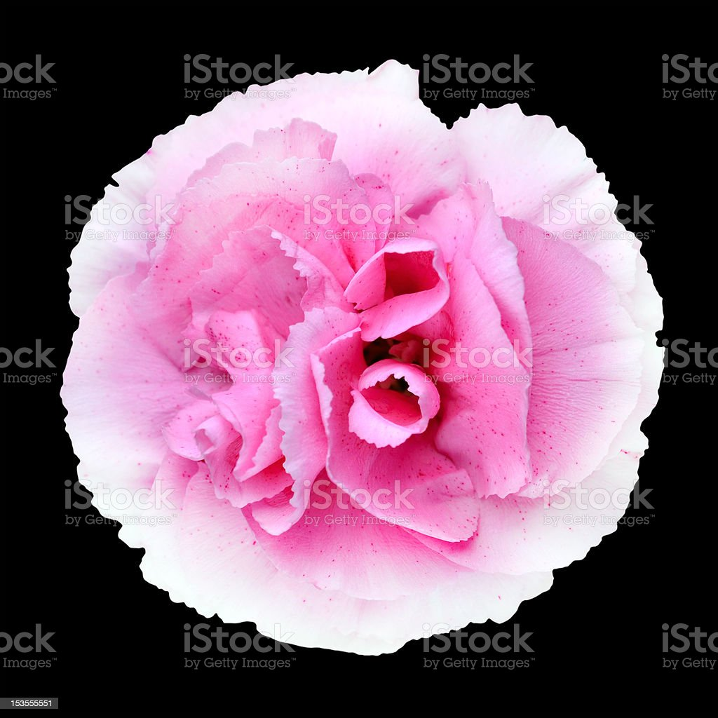 Pink White Carnation Gilly Flower Isolated on Black stock photo