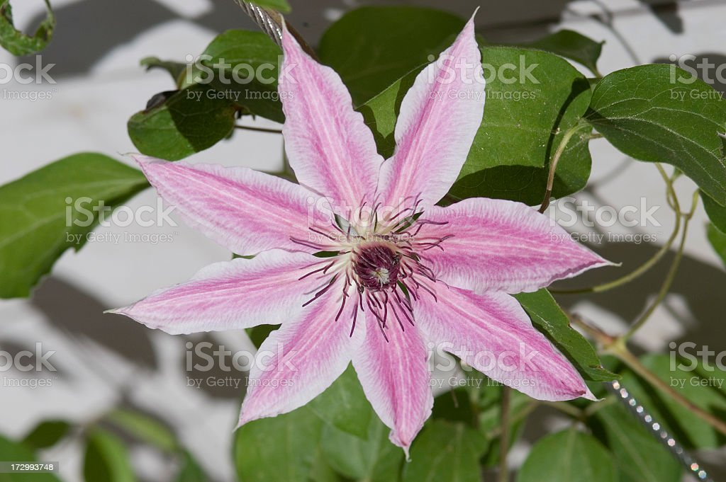 Pink & White Clematis lanuginosa stock photo