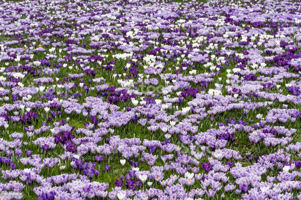 Pink white color crocus flower field stock photo