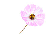 pink white cosmos flower isolated #2