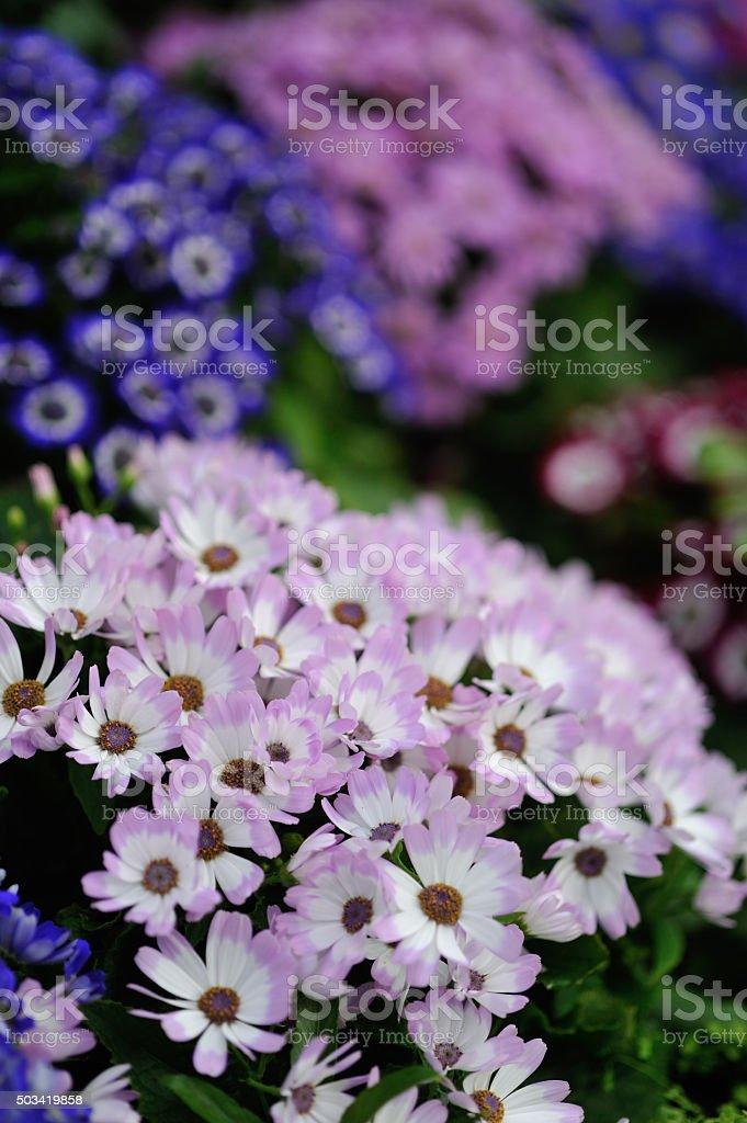 Pink & White garden flowers stock photo