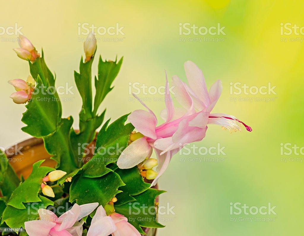 Pink, white Schlumbergera, Christmas cactus or Thanksgiving stock photo