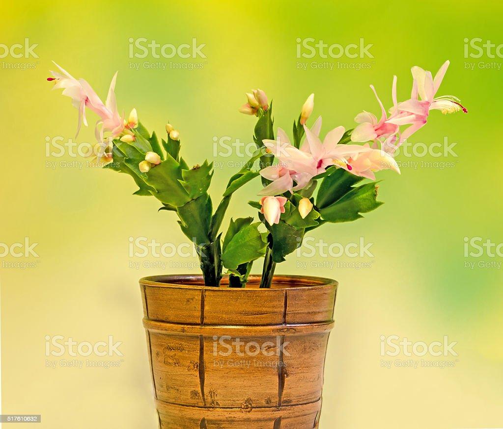 Pink, white Schlumbergera, Christmas cactus stock photo