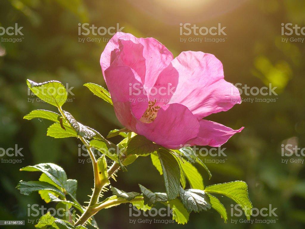 pink wild rose flower in sunlight stock photo