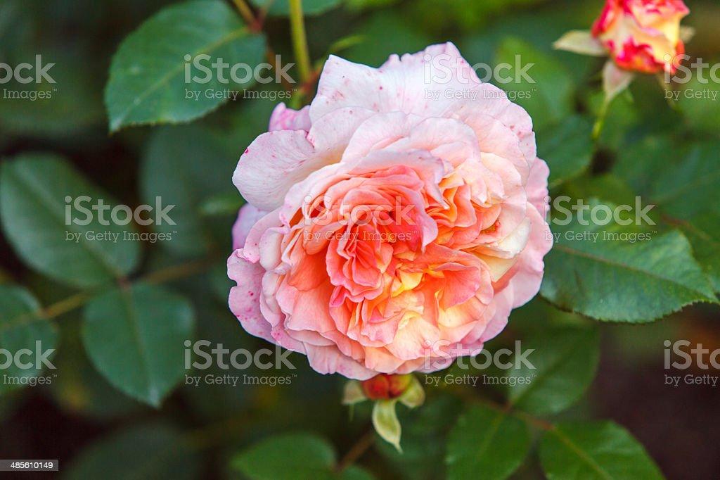 Pink wild rose royalty-free stock photo