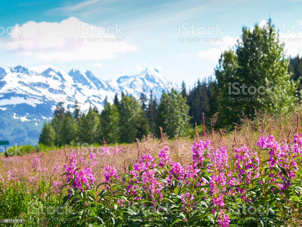 Pink wildflower fireweed in foreground of Alaskan landscape with mountain range behind. stock photo