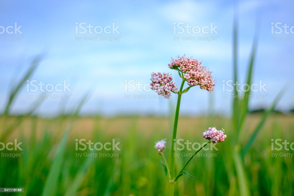 Pink wildflowers starting to blossom in spring stock photo