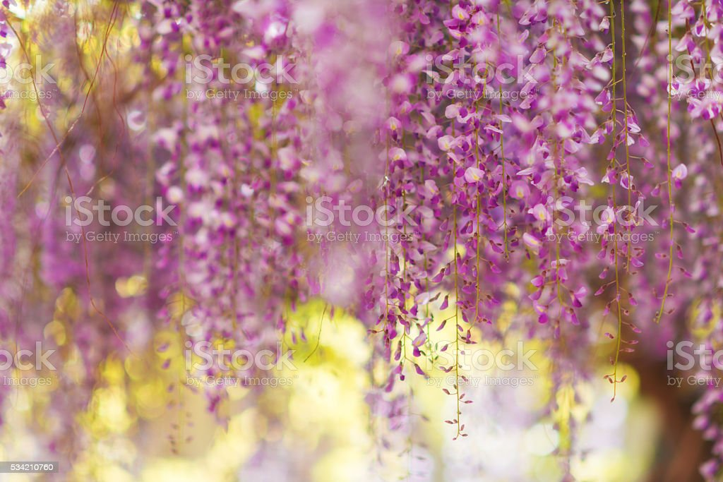 pink Wisteria hanging in summer light stock photo