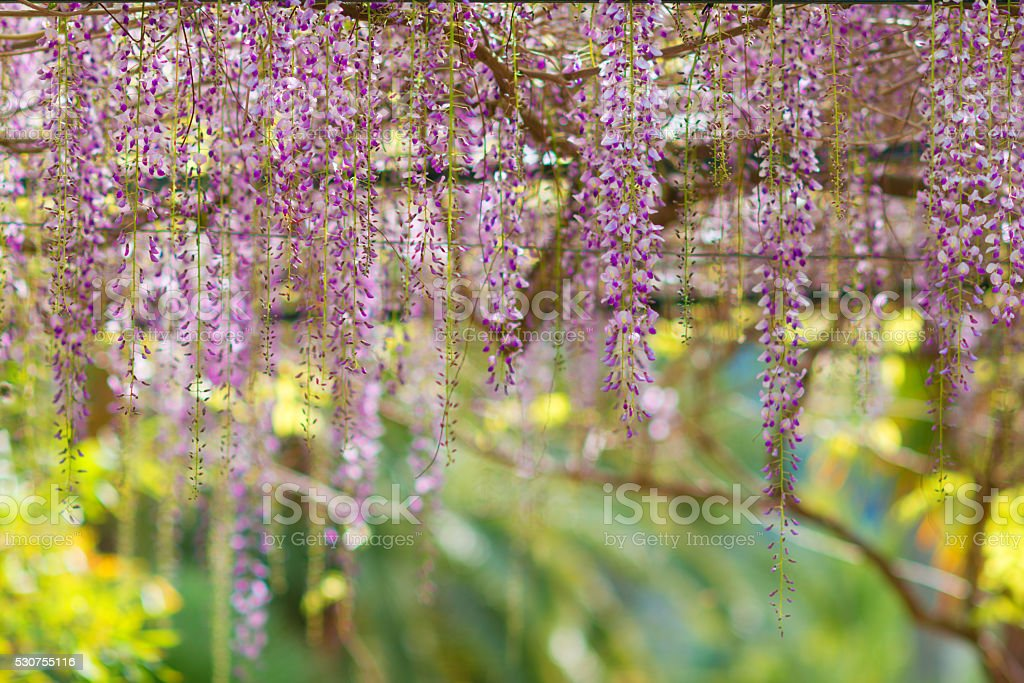 pink Wisteria hanging over a small pedestrian way stock photo