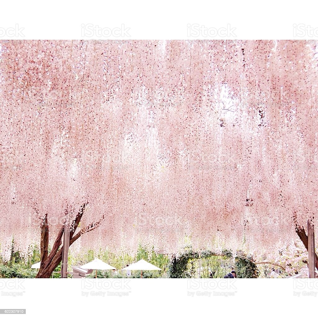 pink wisteria royalty-free stock photo