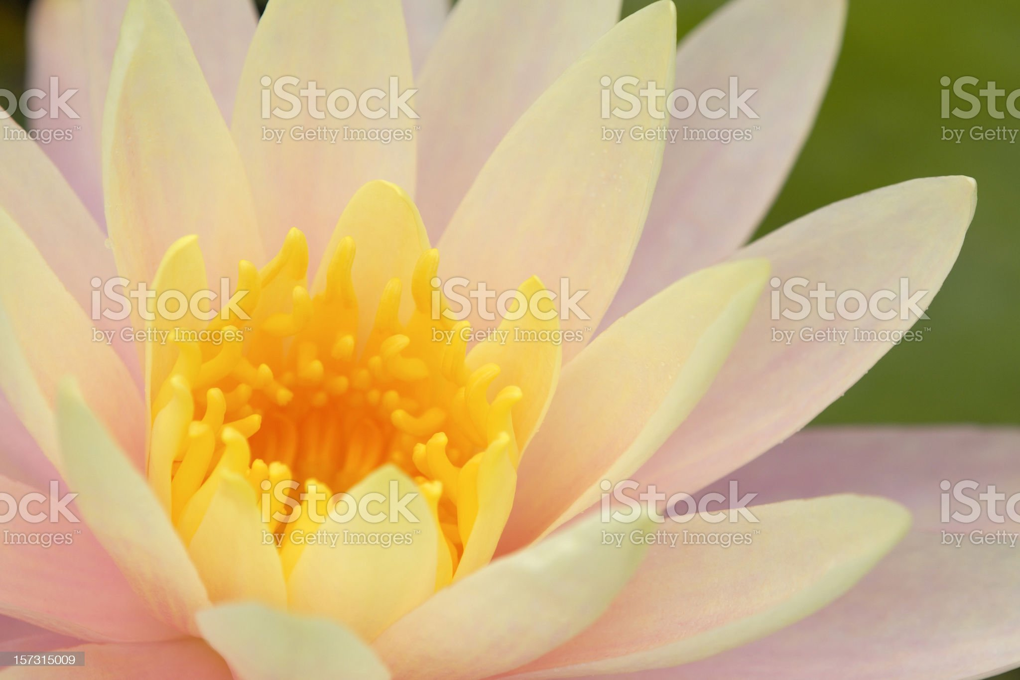 Pink Yellow Water Lily royalty-free stock photo