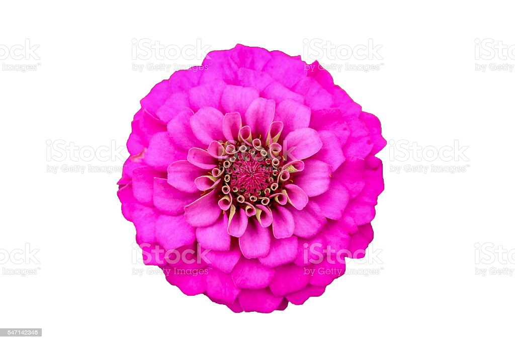 Pink zinnia close up blooming on isolated with clipping path stock photo
