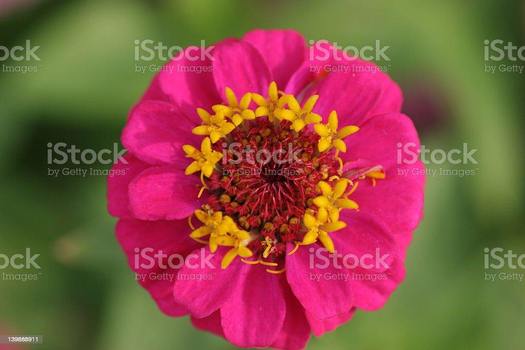 Rosa flor Zinnia foto de stock libre de derechos