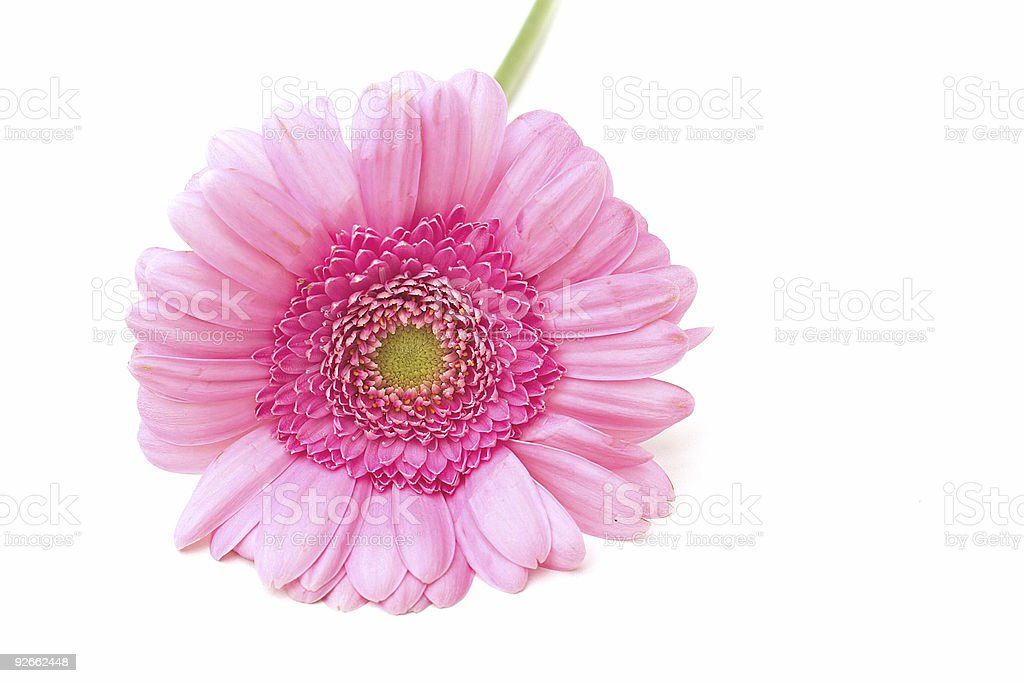 pink zinnia royalty-free stock photo