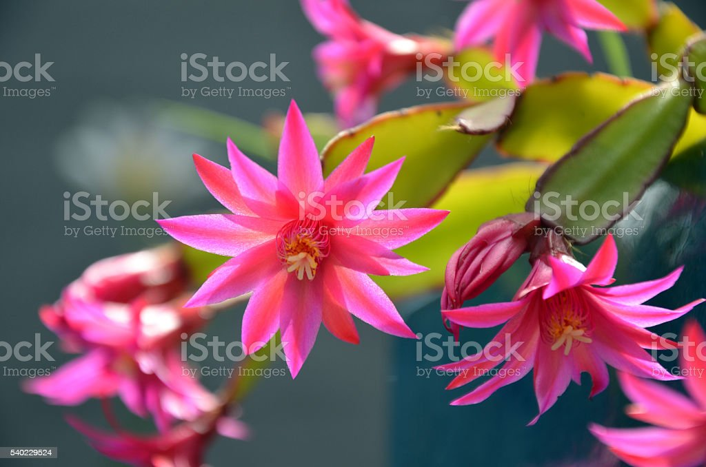 Pink zygocactus flowers stock photo