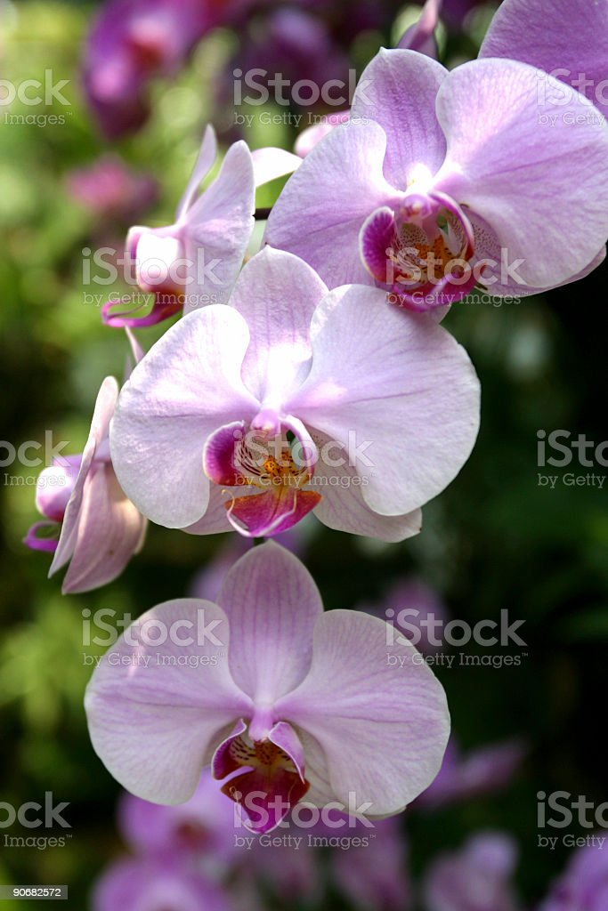 Pink_Orchids royalty-free stock photo